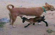 Hukum Anak Kambing Yang Menyusui Anjing