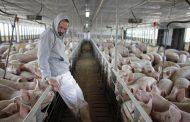 Hukum Mendoakan dan Menerima Uang Usaha Ternak Babi