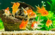 11. Apakah Air Aquarium Yang Berisi Ikan Termasuk Najis?